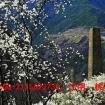 3月28号,只为看梨花、桃花而出发。